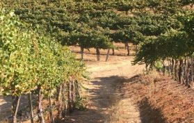 Joullian Vineyards vines